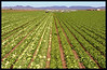 Lettuce field (picked on left, and unpicked on right).