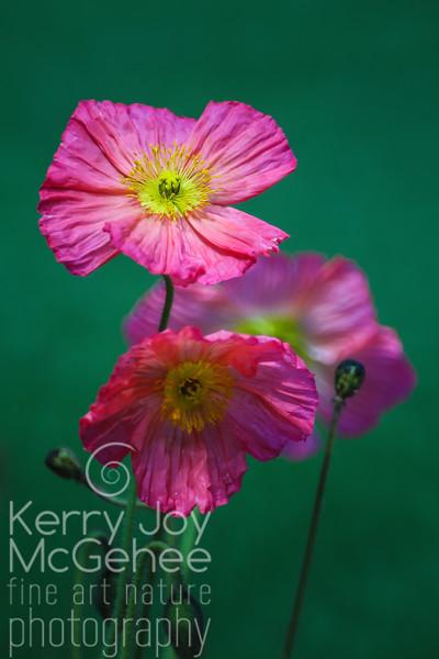 Happy Pink Poppies