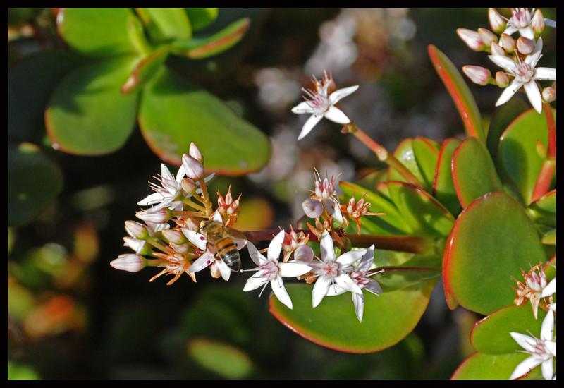 Bee on a Jade Tree Flower