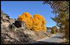 Fall trees near Velarde.