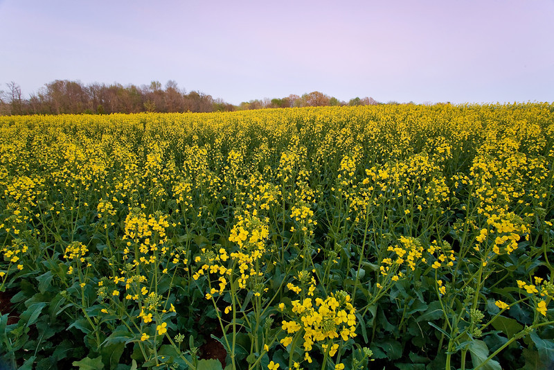 Canola Field in Limestone County, Alabama