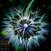 Colorful Dandelion
