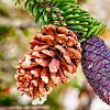 BRISTLECONE PINE - Female Pine Cones