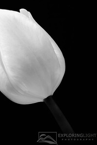 """TULIP MACRO""© Chris Moore - Exploring Light PhotographyPURCHASE A PRINT"