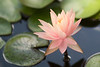 JHP 20170712-13941 water lily f1 2
