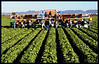 Lettuce harvestors.