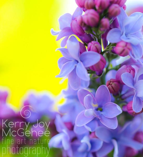 Sunny Lilacs