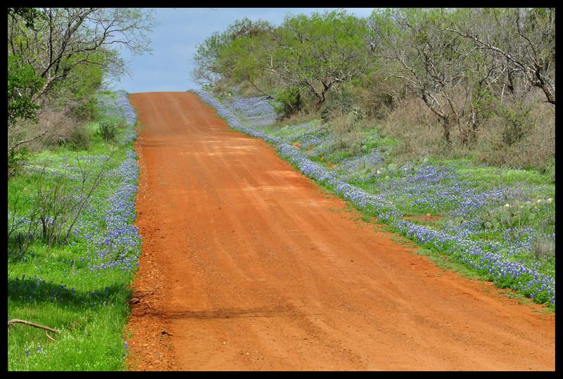 Bluebonnet Wildflowers along Small Road