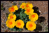 Mexican poppies growing wild in the desert.