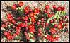 """Scientific name: Echinocereus triglochidiatus, Common name """"King Cup"""" Cactus"""