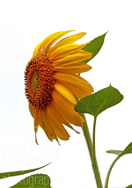 Windblown Sunflower