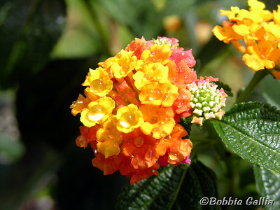 "©Bobbie Gallia, ""Rain on Lantana""; Lantana in the rain at home in Lafayette, Louisiana."