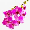 Orkidè