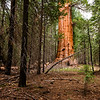 George H.W. Bush Giant Sequoia
