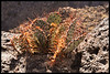 Back Lit Prickly Pear Cactus on edge of canyon