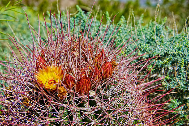 Barrel Cactus - Barbs, Buds and Bloom