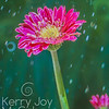 Rainy Gerbera Daisy