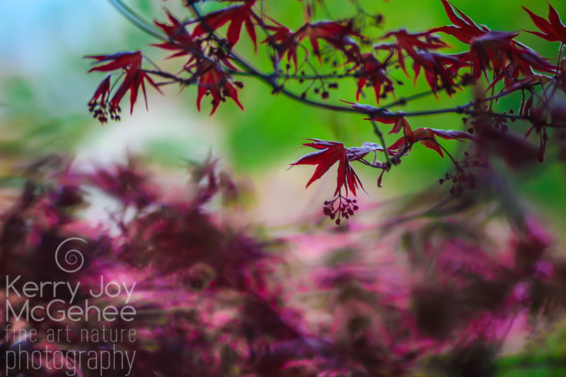 Japanese Maple Branch