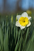 daffodil a