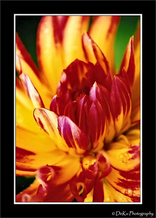 Red & yellow dahlia