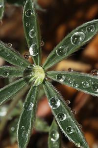 Lupine Absorbing Rain El Dorado County, CA, US