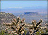 Cholla with Black Mesa background