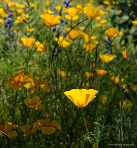 Mexican poppy in the light