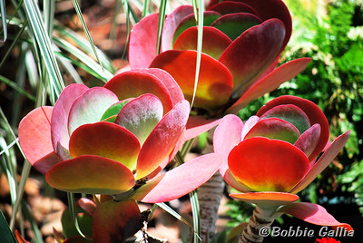 """©Bobbie Gallia; """"Welcoming Springtime""""; Gorgeous Kalanchoe thyrsiflora succulent in mid spring. A very unusual and interesting plant."""