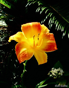 "©Al Gallia; ""Summer Glory""; Day Lily in bloom on a hot summer day (Denham Springs, LA)."