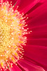 JHP 20170427-5619 gerber daisy macro
