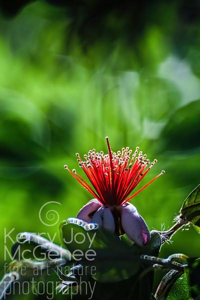 Pineapple Guava 1