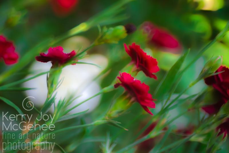 Windy Wild Carnations