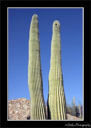 Saguaro Cactus in AZ