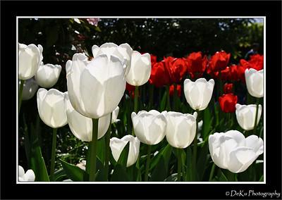 Red-WhiteTulips