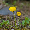 Hestehov Coltsfoot