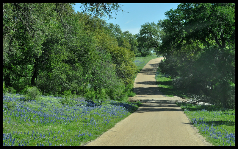 Bluebonnet Wildflowers along the Road