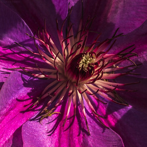 heart of clematis and friend