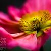 Soft Pink Poppy