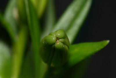 IMG#0349 Asiatic Lilly Bud
