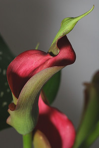 IMG#0850 Calla Lilly