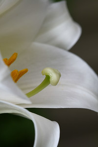 IMG#1678 Madonna Lilly-In Memory of Mother