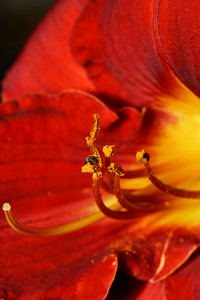 IMG#1495 Tiny Bee in a Tahitian Sunrise Daylilly