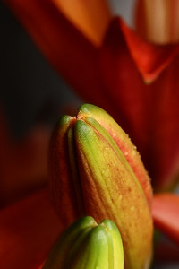 Lilly Bud Tip