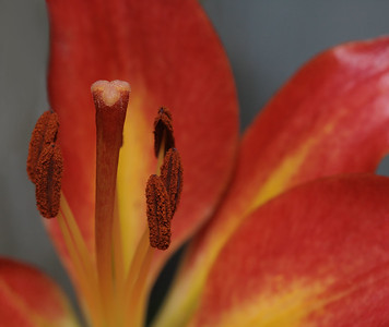 Unscented...Asiatic Lillies