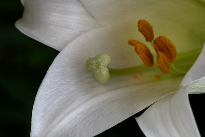 IMG#1688 Madonna Lilly
