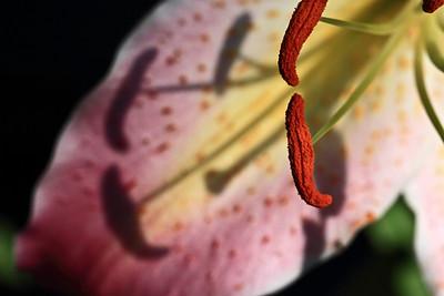 IMG#3563 Stamen shadows, Oriental Lily