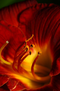 IMG#1485 Inside the Tahitian Sunrise Daylilly