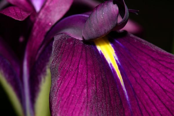 IMG#0422 Japanese Iris