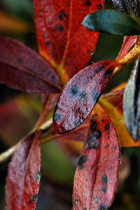 IMG#3272  New Jersey Azalea Leaves in November