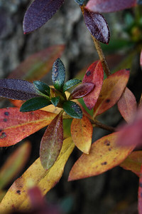 IMG#3279  Azalea Fall colors